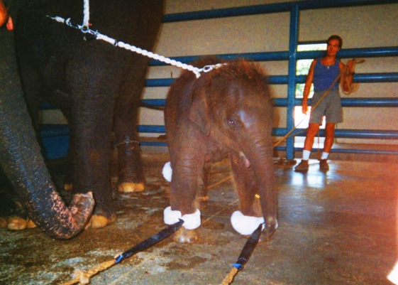 ABUSED BABY ELEPHANT